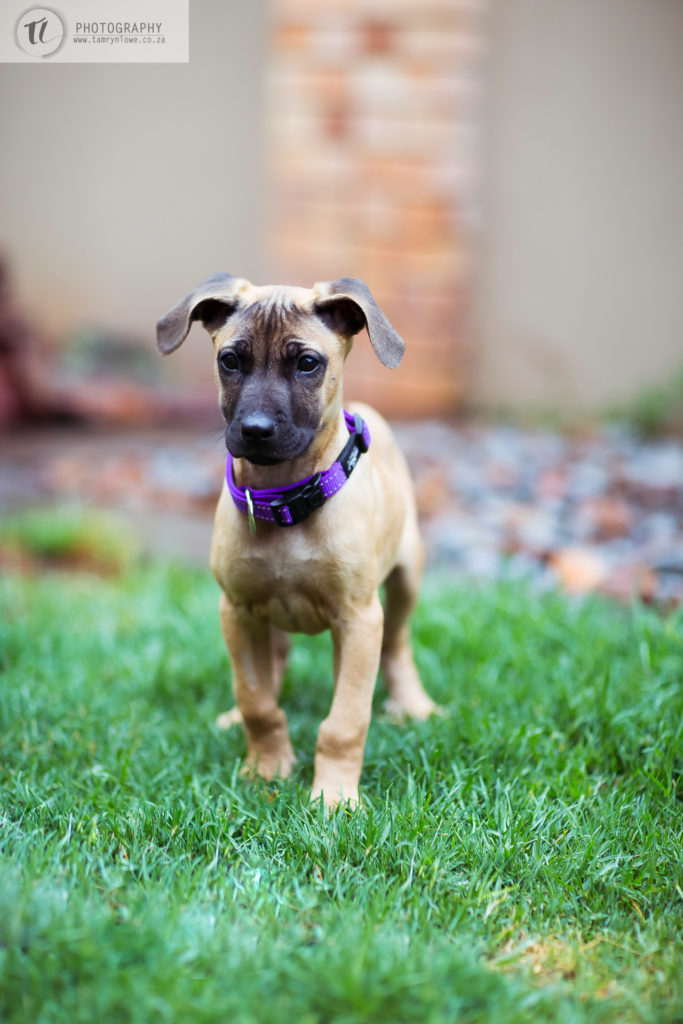 Ridgeback x puppy on grass