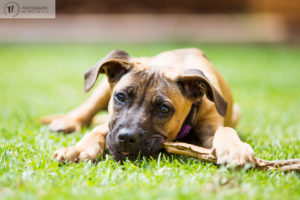Ridgeback x puppy lying on grass