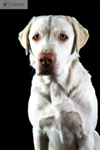 White Labrador, dog, in studio